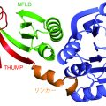 図1 aTrm11 のX線結晶構造のリボンモデル図。緑色はNFLD (N-terminal feredoxin-like domain)、赤色はTHUMP (THioUridine synthase, Mthyltransferase, and Pseudouridine synthase)、薄青色はRFM (Rossmann-fold methyltransferase)、橙色は リンカー領域をそれぞれ示している。