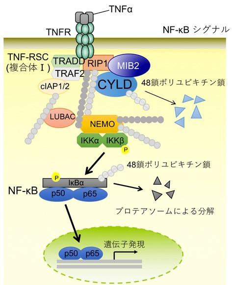 MIB2はCYLDの分解により炎症を促進する